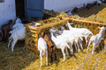 Goats eating flock of on a goat farm saanen breed switzerland Royalty Free Stock Images
