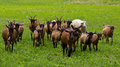 Goats flocks of and sheep on the meadow Royalty Free Stock Image