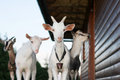 Goats four stay next to brown wooden cottage Stock Images