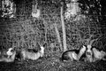 Goats in the garden in black and white Royalty Free Stock Photography