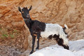 Goats goat on the rock socotra island Royalty Free Stock Image
