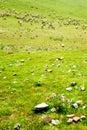 Goats on the grassland Royalty Free Stock Photo