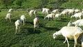 Goats graze on green grass Royalty Free Stock Photo