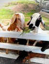 Goats graze and lean over wooden fence on the farm Royalty Free Stock Photos