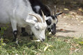 Goats grazing Royalty Free Stock Photo