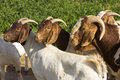 Goats in a green field Royalty Free Stock Photos