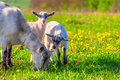 Goats on a green lawn at summer Royalty Free Stock Photography