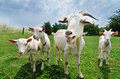 Goats Royalty Free Stock Photo