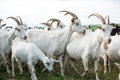 Goats in a herd of farm on pasture Stock Image