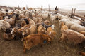 Goats and herdsman in Mongolia Royalty Free Stock Image