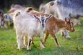 Goats on the meadow Stock Photography