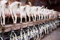 Goats at a milk farm Royalty Free Stock Photo