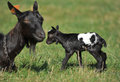 Goats mother and her young blind newborn baby on meadow Stock Photos