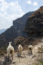 Goats on mountain path walking a steep in tiger leaping gorge in yunnan province china Stock Photos