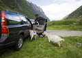 Goats of Norway and car. Royalty Free Stock Photo