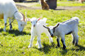 Goats in pasture goat and two baby Stock Image