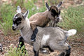 Goats playing Royalty Free Stock Photo