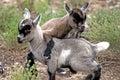 Goats playing