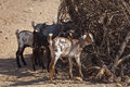 Goats in the Samburu village Royalty Free Stock Photography