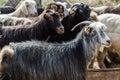 Goats And Sheep At Animal Market