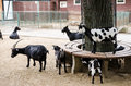 Goats and their kids in petting zoo Royalty Free Stock Photo