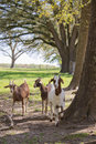 Goats in treeline on farm Royalty Free Stock Photos