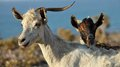 Goats two on the sea background Royalty Free Stock Photo