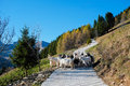 Goats in val di scalve apls mountains italy Stock Photos
