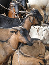 Goats at the weekly market Stock Photo