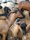 Goats at the weekly market Royalty Free Stock Photography