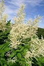 Goatsbeard Royalty Free Stock Photo