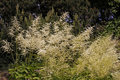 Goatsbeard (Aruncus dioicus) in Germany Stock Images