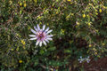 Goatsbeard flower Royalty Free Stock Photo