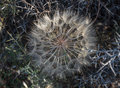 Goatsbeard seeds Royalty Free Stock Photo