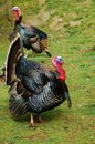 Gobble, Gobble Stock Photography