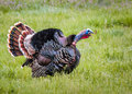 Gobbling turkey a male gobbles during the spring mating season Stock Photo