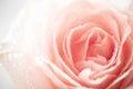 Gocce di rugiada di Rosa