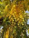 Golden shower & x28;Cassia fistula L.& x29; flowers under golden evening light