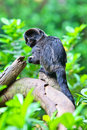 Goeldi's marmosets Stock Photography