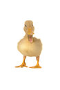 Going duck Royalty Free Stock Photo