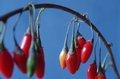 Goji berrys traditional chinese medicine berry Royalty Free Stock Photography