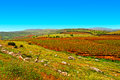 Golan heights rows of vines on the field in early spring Royalty Free Stock Image