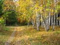 Gold autumn landscape path in a mixed forest colors of golden birchs Stock Image