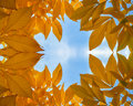 Gold autumn leafs Royalty Free Stock Photo