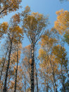 Gold birches Royalty Free Stock Photography