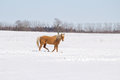 A gold colored horse walking across snow Royalty Free Stock Photo
