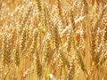 Gold colored Malted Barley heads ready for harvest. Royalty Free Stock Photo