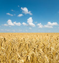 Gold ears of wheat under sky Royalty Free Stock Photo