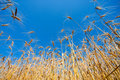 Gold field of wheat Royalty Free Stock Photo