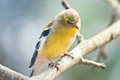 Gold finch perches on a branch shy Royalty Free Stock Images
